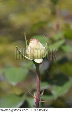 Rose Souvenir De Baden-baden Flower Bud - Latin Name - Rosa Souvenir De Baden-baden