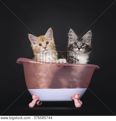 Duo Of Two Cute Maine Coon Kittens, Sitting In Pink Doll Bath Tub. Looking Towards Camera. Isolated