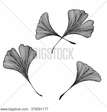Hand Drawn Ginkgo Biloba Leaves Isolated On White, Vintage Line Art Illustration Of Ginkgo Leaf, Mon