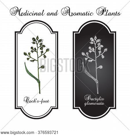 Cock S-foot, Orchard Or Cat Grass Dactylis Glomerata , Medicinal Plant. Hand Drawn Botanical Vector