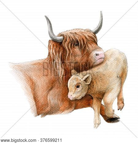 Highland Cattle Cow With A Baby Calf Watercolor Image. Hand Drawn Scottish Farm Breed Close Up Vinta