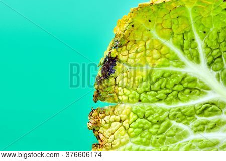 Leaf Rotten Cabbage, Macro, Close Up. Head Of Moldy Cabbage, Copy Space. Unsuitable Inedible Food Fo