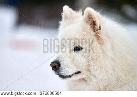Husky Sled Dog Face, Winter Background. Siberian Husky Dog Breed Outdoor Muzzle Portrait. Beautiful
