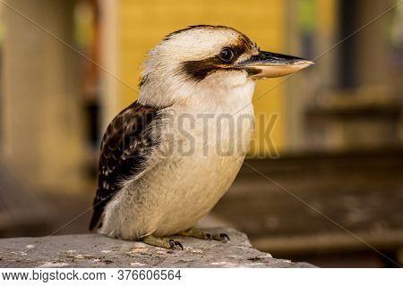 Australian Kookaburra Sitting On A Wooden Table. Kookaburras Are Terrestrial Tree Kingfishers Of The