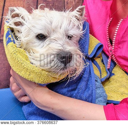 Jack Russell After Washing With Professional Shampoo Wrap In A Towel. The Procedure Of Drying The Do