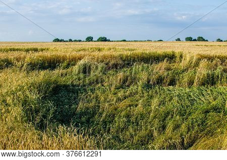 The Wind Broke The Ears Of Wheat. The Wind Caused Financial Damage To The Farmer By Breaking Rye