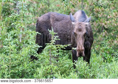 Colorado Cow Moose Living In The Wild