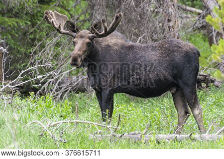 Colorado Bull Moose Living In The Wild
