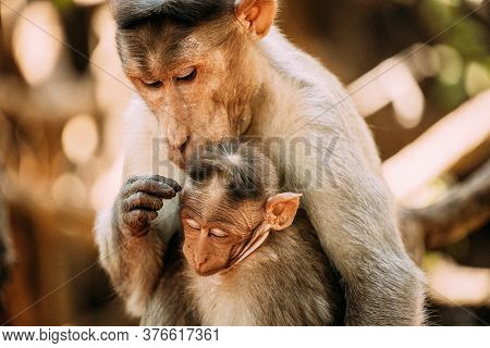 Goa, India. Bonnet Macaque - Macaca Radiata Or Zati Is Looking For Fleas On Its Cub. Close Up. Monke