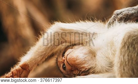 Goa, India. Bonnet Macaque - Macaca Radiata Or Zati Is Looking For Fleas On Its Cub. Close Up Monkey