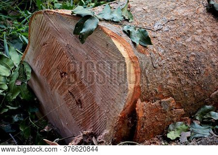 Close Up Of  The Cross Section  Of A Cut Tree Trunk With Barks, Selective Focusing