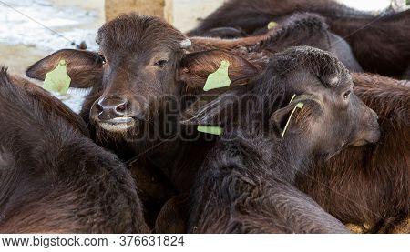 Mourrah's Milk Buffalo Farm Is On Vacation.