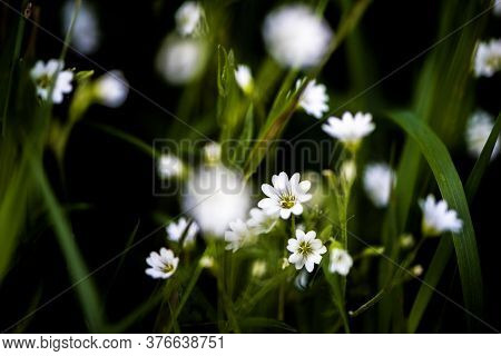 White Tiny Meadow Blossoms Hidden In The Grass In Late Spring