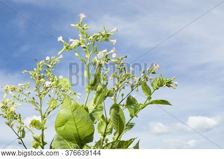 Tobacco Flowers On Tobacco Field And Blue Sky Background