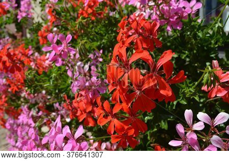 Background Of Pink And Red Pelargonium Flowers (commonly Known As Geraniums, Pelargoniums Or Storksb