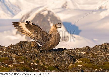The South Polar Skua Stercorarius Maccormicki Graham Land, Argentine Islands, Antarctica
