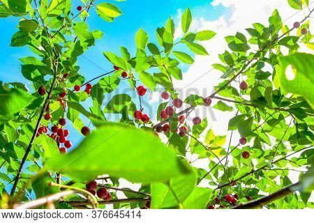 Branch Of Red Ripe Cherries On A Tree. Picking Berries. Close-up.