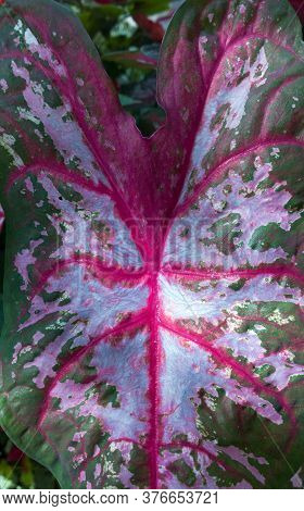 Circulatory System Of The Caladium, A Native Central And South American Ornamental Plant, Also Known