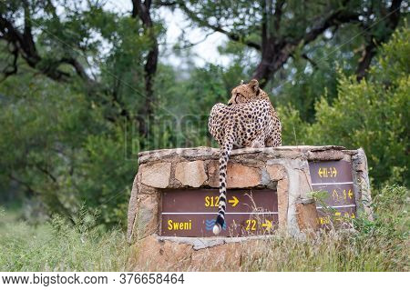 Cheetah Observing The Environment From A Signpost In Kruger National Park In South Africa