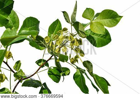 Young Branch With Green Seeds Of The Ptelea Trifoliata Tree, Closeup, Isolated On White Background.