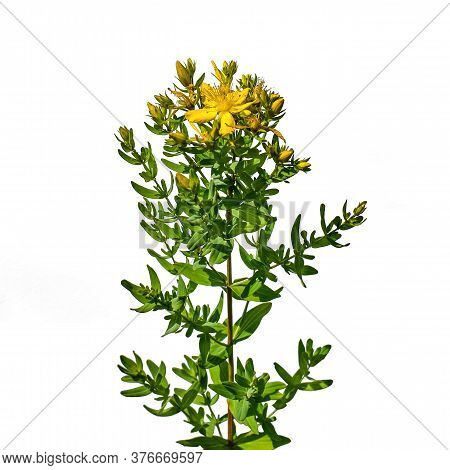 Stem Of Flowering Common Saint John's Wort Plant With Yellow Flowers Close-up, Isolated On White Bac