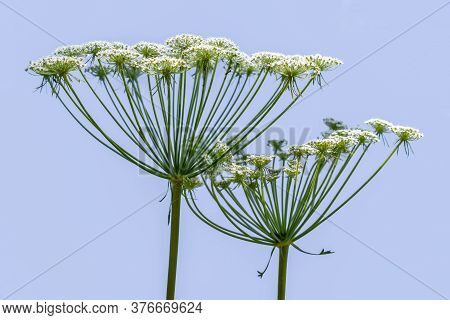 Two Umbrellas With White Small Florets Of A Hogweed, Close-up, Isolated On A Blue Background. Heracl