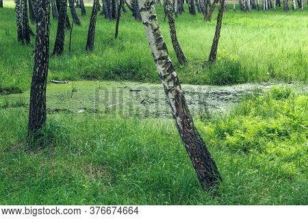 Beautiful Green Swamp Among Birch Grove And Ferns