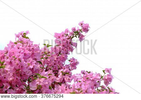 Sweet Red Bougainvillea Flower Blossom With Green Leaves And Branches On White Isolated Background W