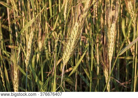 Beautifal Wheat Field With Yellow Spikelets And Fortest. Background. The Concept Of Growing And Cari