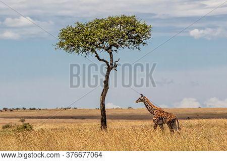 Giraffe Calf Walking On The Great Plains Of The Masai Mara National Reserve In Kenya