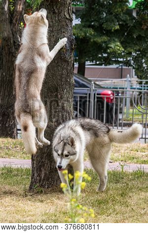 A Large Beautiful Siberian Husky Dog Jumps High Up Near A Tree During A Morning Walk In A City Park.