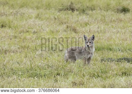 A Lone Coyote Stands Alert In A Field In North Idaho.
