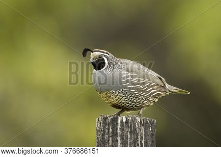 A Beautiful California Quail Iis Perched On A Wood Post In North Idaho.