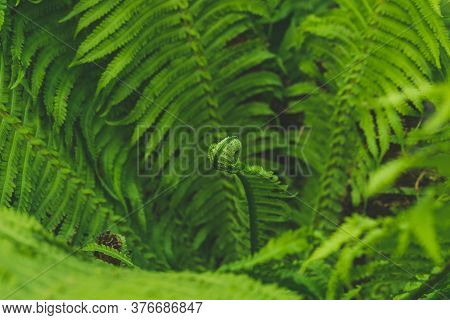 Curled Young Fern Leaf. Abstract Emerald Background. Fern Leaves Close-up. Green Fronds. Natural Bot