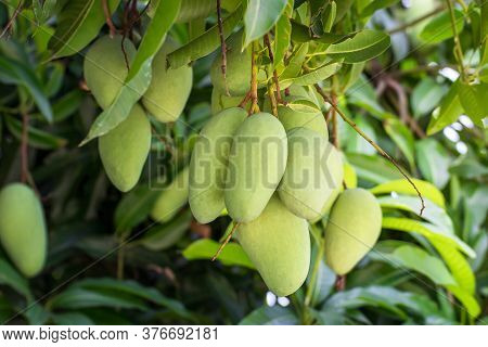 Close Up Of Mangoes On A Mango Tree In Plantation,green Mangoes On The Tree