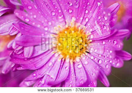 Close Up Of New York Aster