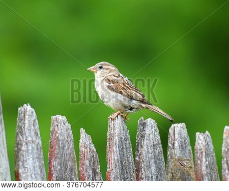 Sparrow Standing On Wood Fence In Front Of Green Tree Background