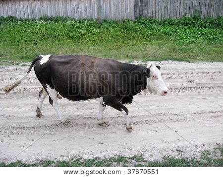 black-and-white cow