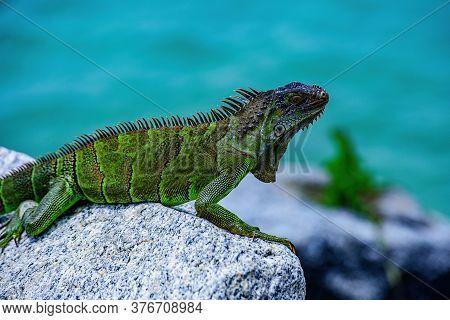 Wildlife And Nature, Marine Iguana. Green Lizards Iguana. Wildlife Reptile In Florida
