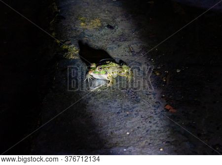 The River Amphibian Frog Sits At Night In Shallow Water In A Beam Of Incident Light In The Golan Hei