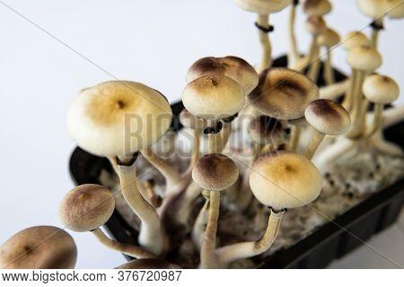 Fresh Psilocybin Shroom. Fungi Hallucinogen. Psilocybin Cubensis Mushroom. Growing Albino A Strain.