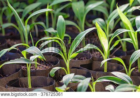 Nursery Plant Of Banana Tree In Black Bag