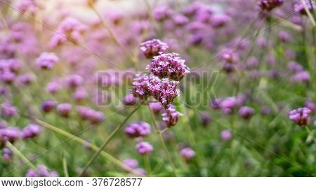 Field Of Violet Tiny Petals Of Verbena Flower Blossom On Blurred Green Leaves, Know As Purpletop Ver
