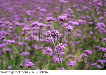 Field Of Violet Petite Petals Of Verbena Flower Blossom On Blurred Green Leaves, Know As Purpletop V