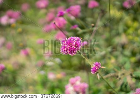 Branches Of Pink Petals Of Pearly Everlasting Blossom On Greenery Leaves Blurry Background, Know As