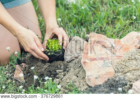 Close-up Of A Woman Hostess Is Engaged In Planting Garden Plants, Succulents In The Home Garden On A