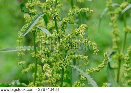 Fresh Green Organic Leaves Of Rumex Patientia, Known Aspatience Dock, Garden Patience,herb Patienc