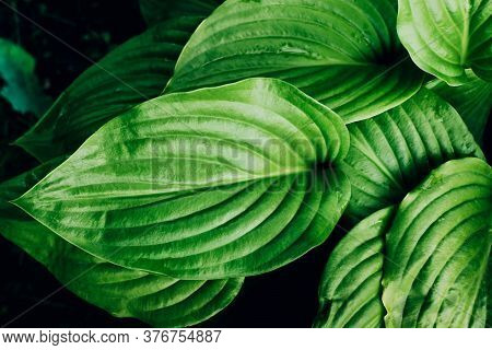 Top View Of Fresh Green Hosta Leaves Foliage Growing Outdoor. Natural Greenery Background.