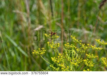 A Closeup Picture Of Two Tiny Red Insects On A Yellow Wild Flower. Green Blurry Background. Picture