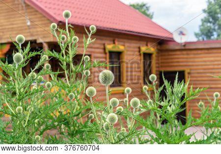 Echinops Or Thistle. Round And Spiky Flowers Of Echinops Sphaerocephalus (names: Glandular Globe-thi